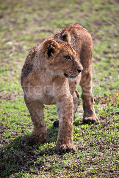 ストックフォト: 小 · ライオン · カブ · 肖像 · タンザニア · アフリカ