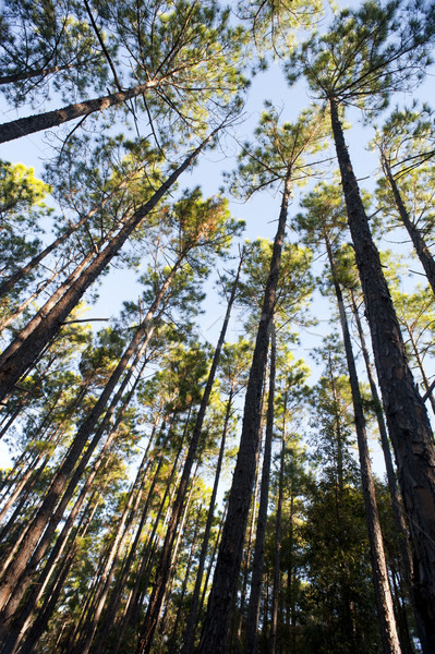 Looking up into the canopy of tall trees Stock photo © photohome