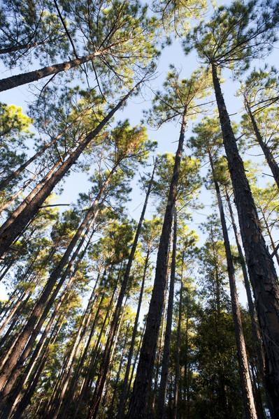 Felfelé néz magas fák erdőgazdaság ültetvény zöld Stock fotó © photohome