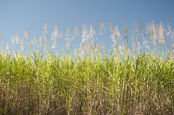 Sugarcane canes growing in an agricultural field Stock photo © photohome