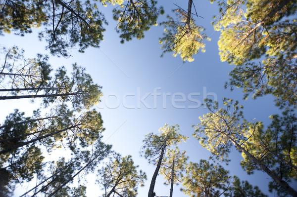 Keret zöld fák erdőgazdaság ültetvény napos Stock fotó © photohome
