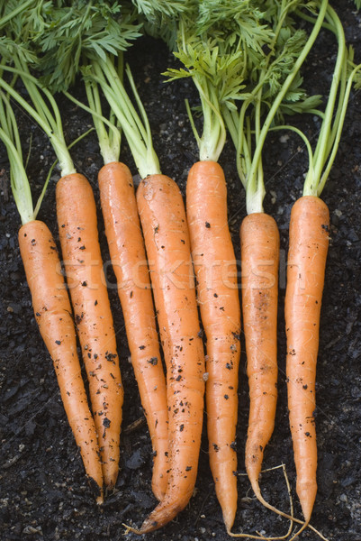 Frescos zanahorias hojas planta saludable Foto stock © photohome
