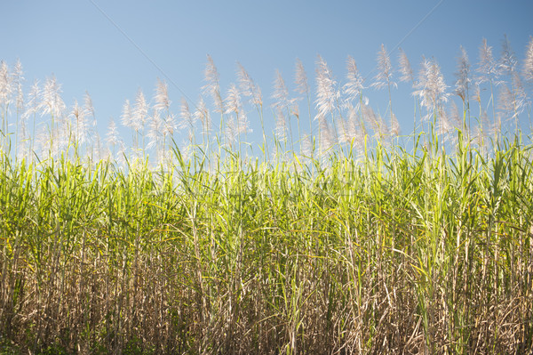 Tall sugar cane plants under blue sky Stock photo © photohome