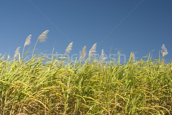 Photo stock: Canne · croissant · ferme · loin · nord · queensland