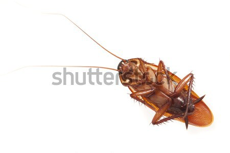 Dead cockroach lying on its back Stock photo © photohome