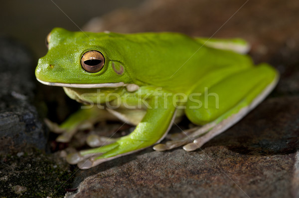 Single little green tree frog Stock photo © photohome