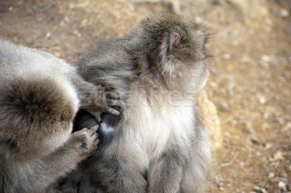 Barátságos majom barát közelkép kosz segítség Stock fotó © photohome