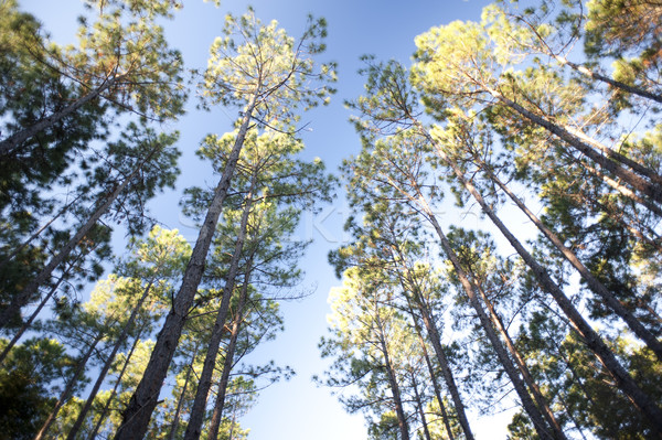 Tall trees in a forest plantation under a blue sky Stock photo © photohome