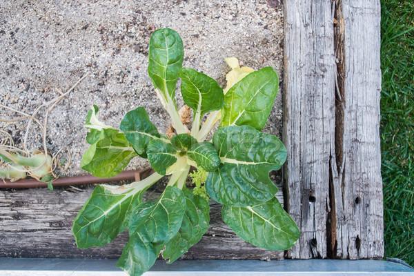 Stockfoto: Plantaardige · tuin · volwassen · voedsel · blad · groene