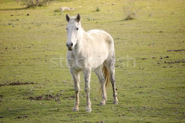 árabe mustang blanco hierba velocidad animales Foto stock © Photooiasson