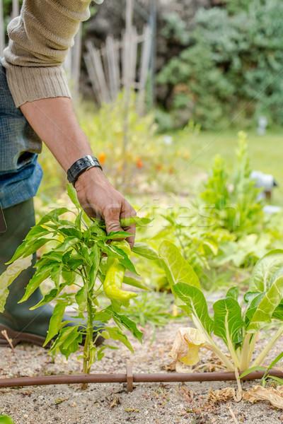 Kezek fiatal férfiak aratás érett zöld paprikák Stock fotó © Photooiasson