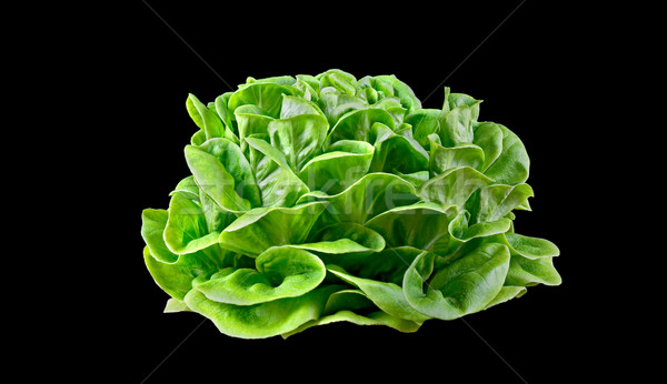 Batavia lettuce. Stock photo © Photooiasson