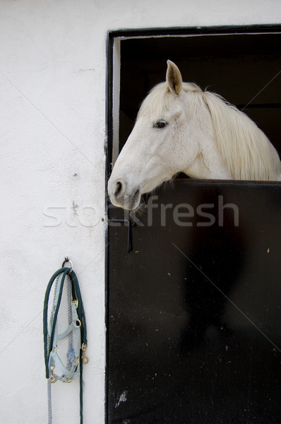 Arabian Mustang Stock photo © Photooiasson