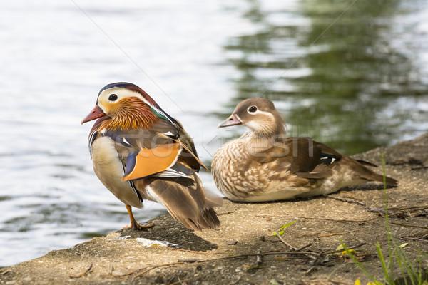 Pair of Mandarin ducks. Stock photo © photosebia