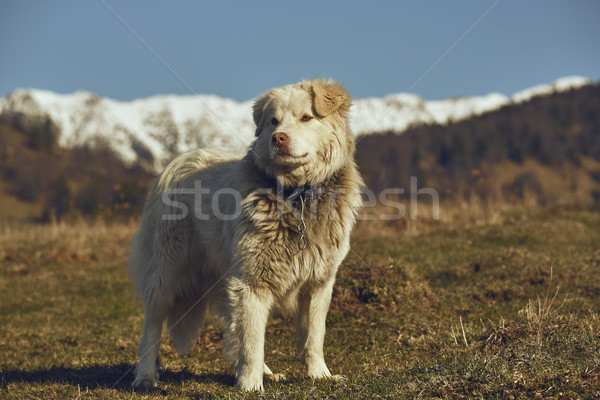 Alert white furry sheepdog Stock photo © photosebia