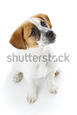 Itaatkâr oturma köpek terriyer köpek yavrusu bekleme Stok fotoğraf © photosebia