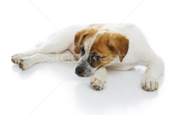 Cãozinho bonitinho branco bebê jovem Foto stock © photosebia