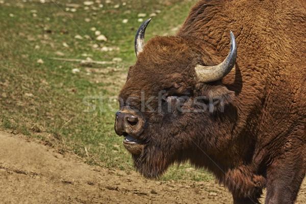 Roaring bison male head Stock photo © photosebia