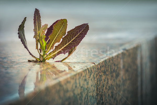 Spiky plant growing through pavement Stock photo © photosebia