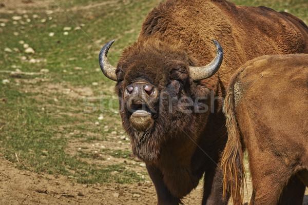 Rutting European bison male Stock photo © photosebia