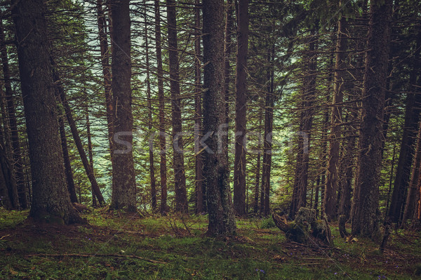 Shady spruce forest Stock photo © photosebia