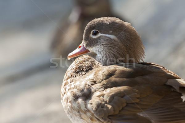 Mandarin duck closeup Stock photo © photosebia