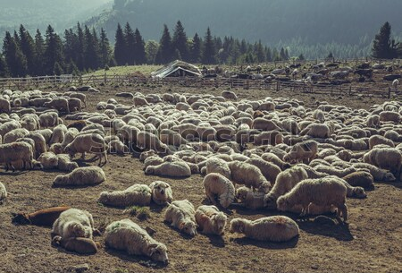 Sheep resting in sheepfold Stock photo © photosebia