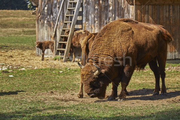 European bison bull and herd Stock photo © photosebia