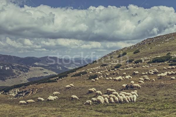 Schapen alpine bergen Roemenië Stockfoto © photosebia