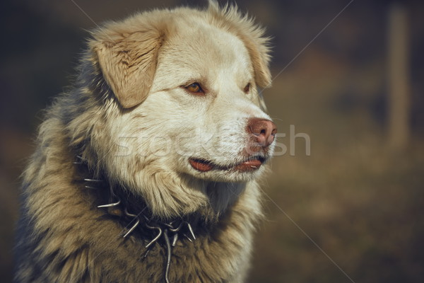 Curious white sheepdog Stock photo © photosebia
