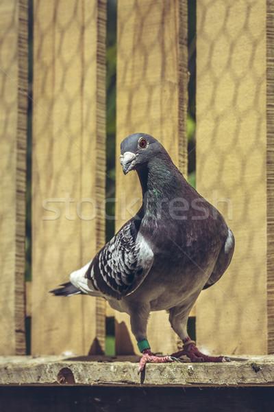 Racing голубь внутри чердак серый мужчины Сток-фото © photosebia