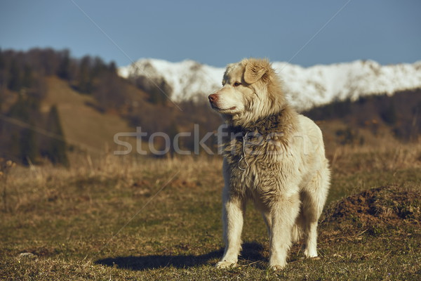 Stock photo: Alert white furry sheepdog