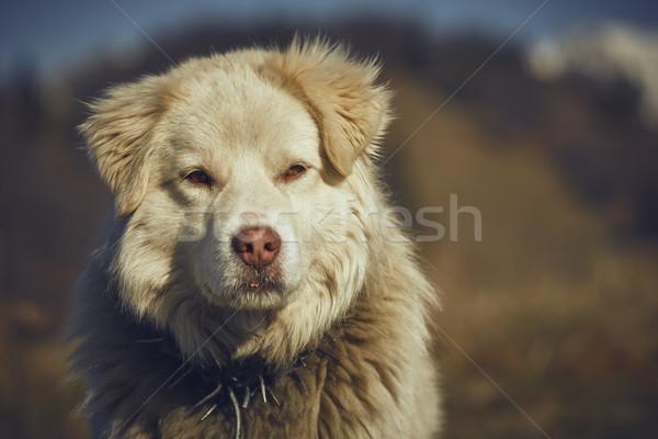 Aandachtig witte herdershond portret metaal Stockfoto © photosebia