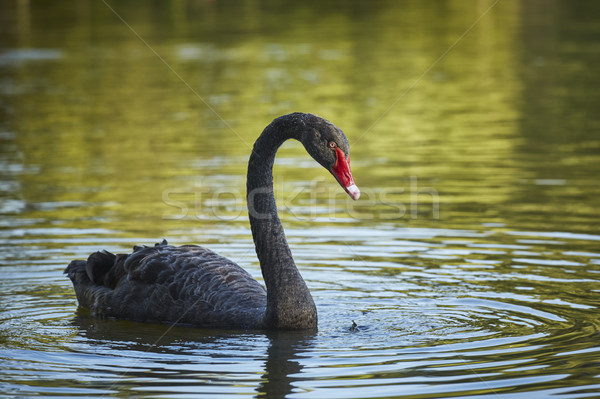 Graceful black swan male Stock photo © photosebia