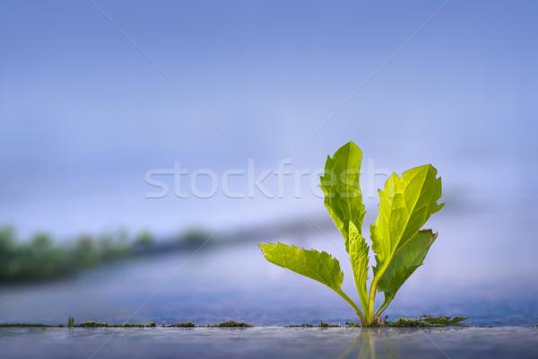 Weed growing through pavement Stock photo © photosebia