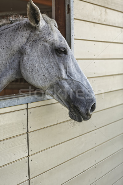 Lipizzan mare portrait Stock photo © photosebia