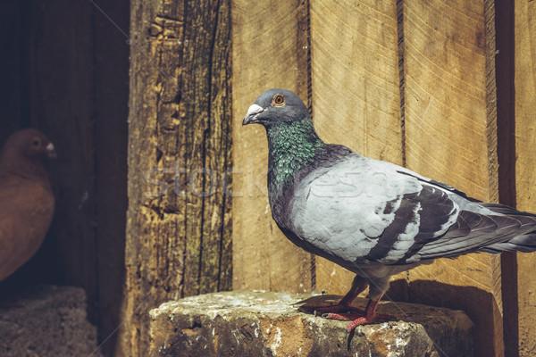 Racing pigeon Stock photo © photosebia