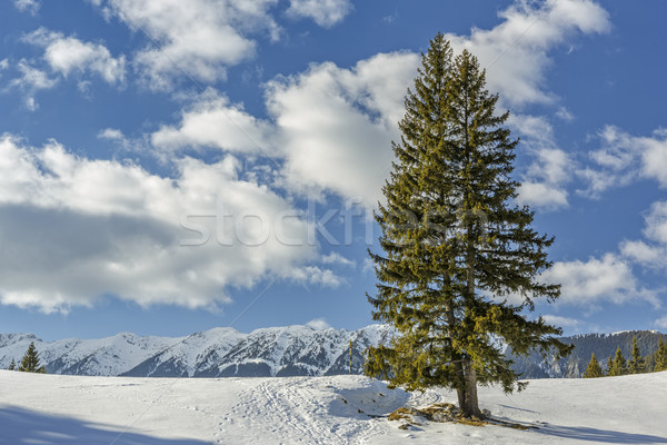 Solitary fir trees during winter Stock photo © photosebia