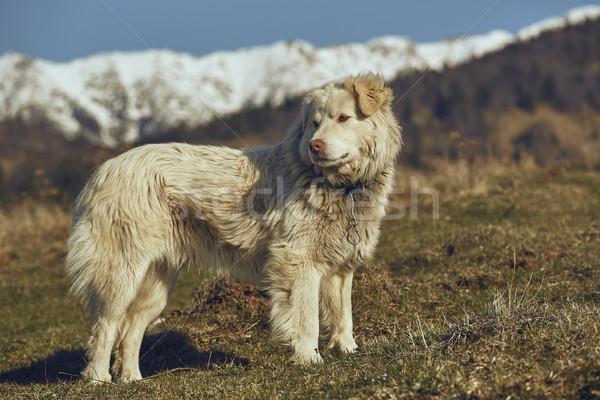 Alert white furry sheepdog Stock photo © photosebia