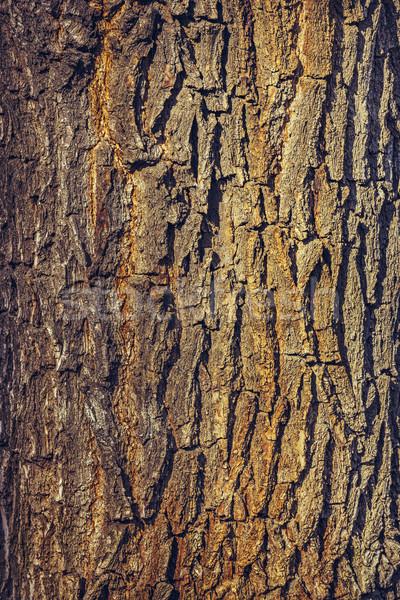 Carvalho casca velho madeira textura árvore Foto stock © photosebia