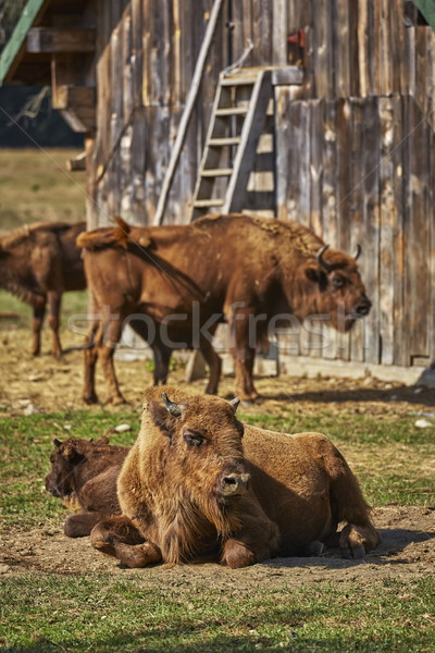 European bison females and calves Stock photo © photosebia