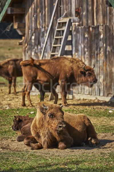 Avrupa bizon kadın buzağı sakin Stok fotoğraf © photosebia