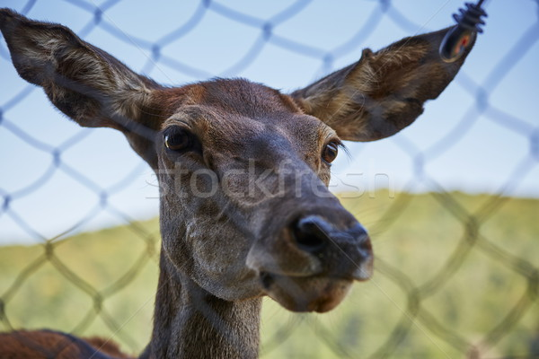 Curious deer female portrait Stock photo © photosebia