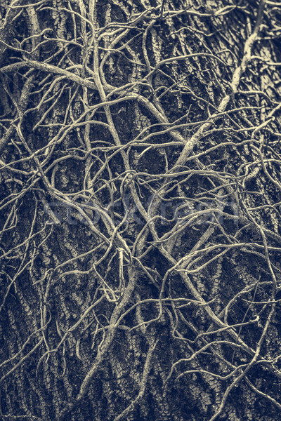 Twisted leafless vines creeper Stock photo © photosebia