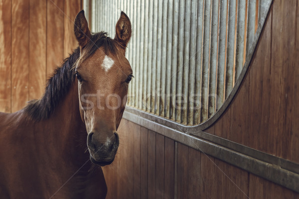Curious chestnut young stallion Stock photo © photosebia