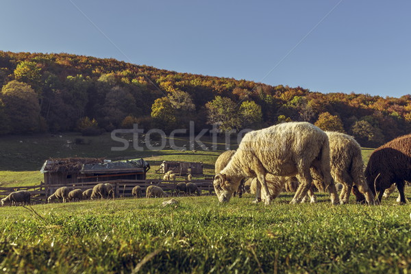 Sheepfold and grazing sheep flock Stock photo © photosebia