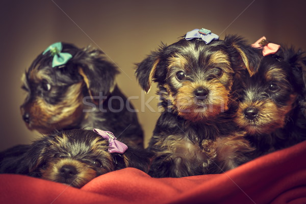 Yorkshire terrier dog puppies Stock photo © photosebia