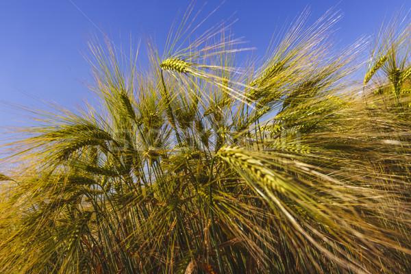 Ripe wheat spikes Stock photo © photosebia