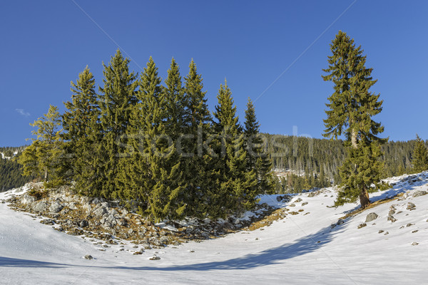 Fir trees clump Stock photo © photosebia