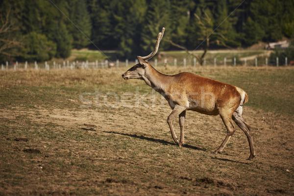 Red deer hart Stock photo © photosebia